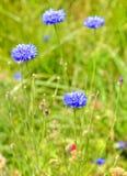 Cyanus de Centaurea, généralement connu sous le nom de bouton du ` s de bleuet ou de célibataire Photographie stock libre de droits