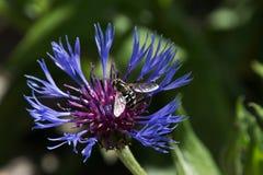 Cyanus del Centaurea del aciano con la abeja Foto de archivo libre de regalías