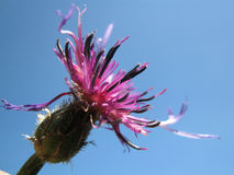 Cyanus triumfetti. Inflorescence of Cyanus triumfetti against a blue sky. It is also known as Centaurea cyanus or Centaurea triumfetti Stock Photography