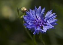 Cyanus van Centaurea stock foto's