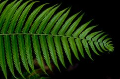 Cyathea dealbata Obraz Royalty Free