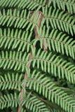 Cyathea leaf Royalty Free Stock Photos