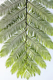 Cyathea lepifera Stock Photo