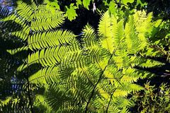 Cyatheaceae, die Anlage vom acient Dinosaurieralter Stockfoto