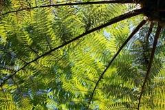 Cyatheaceae, die Anlage vom acient Dinosaurieralter Lizenzfreies Stockbild