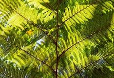 Cyatheaceae, die Anlage vom acient Dinosaurieralter Stockbilder