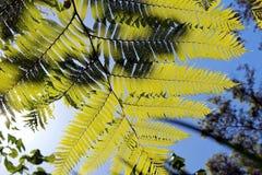 Cyatheaceae, die Anlage vom acient Dinosaurieralter Lizenzfreies Stockfoto