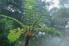Cyatheales, tree fern Stock Photos