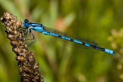 Cyathigerum de Enallagma, damselfly azul comum imagem de stock royalty free