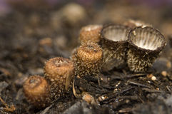 Cyathus striatus Stock Images
