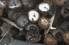 Cyathus striatus. Mushrooms on the autumn leaves Stock Photos