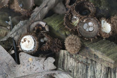 Cyathus striatus. Mushrooms on the autumn leaves Royalty Free Stock Photos