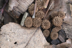 Cyathus striatus. Mushrooms on the autumn leaves Stock Image