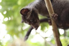 Cybeta kot na drzewie zdjęcia stock