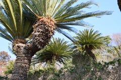 Cycad Image libre de droits