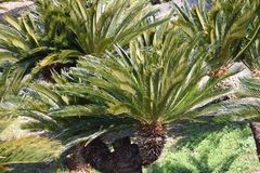 Cycad Photographie stock