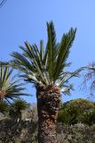 Cycad Photos libres de droits