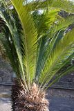 Cycad Images stock
