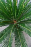 Cycad Royalty-vrije Stock Foto