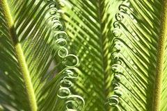 Cycad Stock Photos