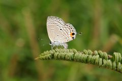 Cycad Blue butterfly. On plant stock images