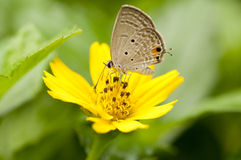 Cycad Blue butterfly. Close up of cycad blue butterfly feeding on yellow flower Stock Photos