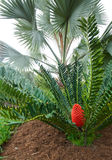 Cycad Colour Stock Photo