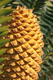 Cycad cone. A cone of a cycad basking in the sun. These plants pe-date flowering plants and flourished all over the world during the time of the dinosaurs. Some Royalty Free Stock Images
