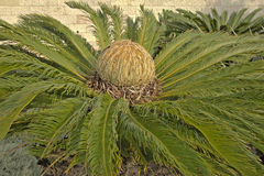 Cycad cone (cycas revoluta) Stock Photos