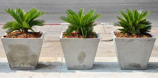 Cycad royalty free stock photography