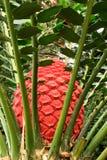 Cycad Encephalartos Ferox Royalty Free Stock Photography