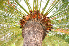 Cycad fern tree in tropical garden Royalty Free Stock Images