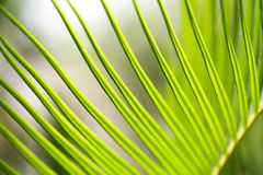 Cycad frond Royalty Free Stock Images