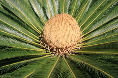 A Cycad on the island of Madeira Stock Photo