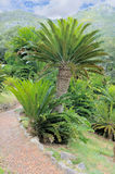 Cycad in Kirstenbosch Stock Photo
