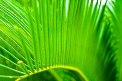 Cycad leaf. Cycad lush green leaf,Featured Royalty Free Stock Images