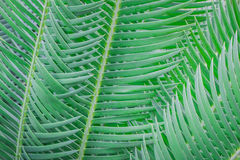 Cycad leaves. Stock Photo