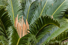 Cycad leaves Royalty Free Stock Photo