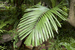 Cycad leaves Royalty Free Stock Image