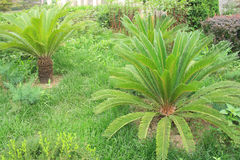 Cycad Stock Photography
