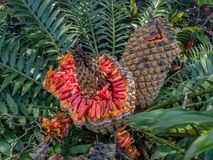 Cycad with orange fruit seeds. royalty free stock photos