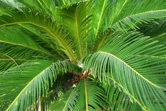 Cycad Palm Plant Stock Photography