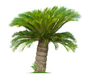 Cycad palm tree. Isolated on white background Royalty Free Stock Photography