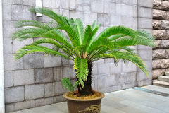 Cycad palm tree Stock Images