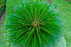 Cycad plam tree. Royalty Free Stock Photo