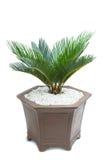 Cycad plam tree plant Royalty Free Stock Photos