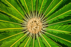 CYCAD  PLANT Royalty Free Stock Photo