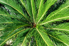 Cycad plant Royalty Free Stock Images