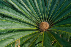 Cycad Plant from Above Royalty Free Stock Images