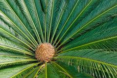 Cycad Plant from Above. Cycad Plant and cone from Above Stock Photos